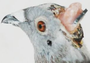 cyborg_pigeon2.jpg